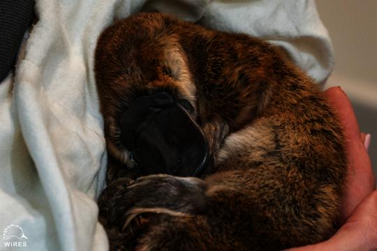 Rescued Platypus