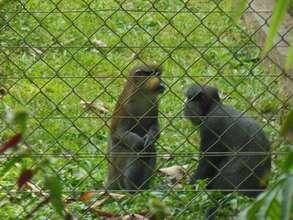 chimpanzees at park