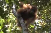 Help the orangutans of Borneo !