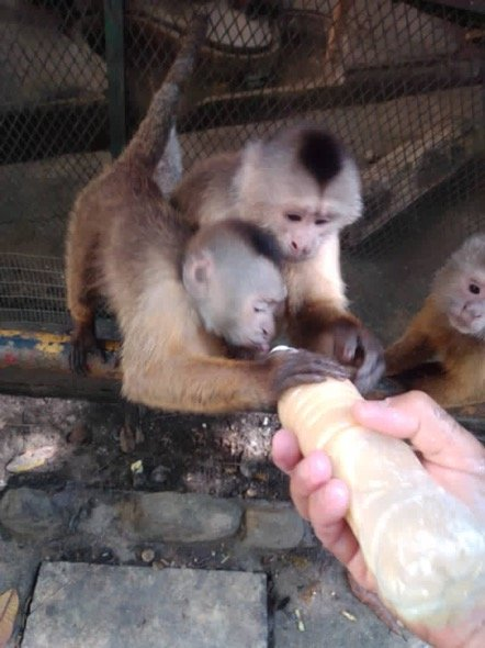 Momma and baby monkey get fresh milk for lunch.