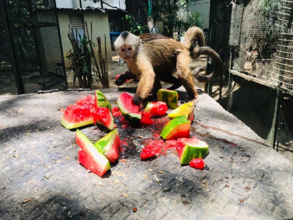 Adult Monkeys Eating Watermelon