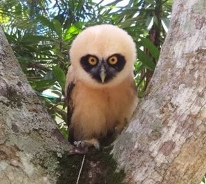 Eounded owl is in recovery at local animal refuge.