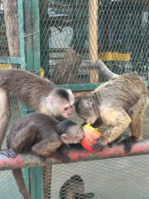 SAI Zoo Monkeys Share Mango Lunch