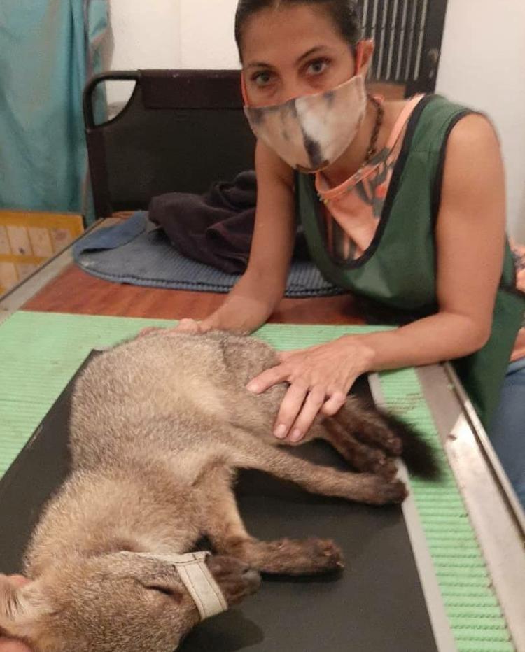 An injured fox receiving medical treatment.