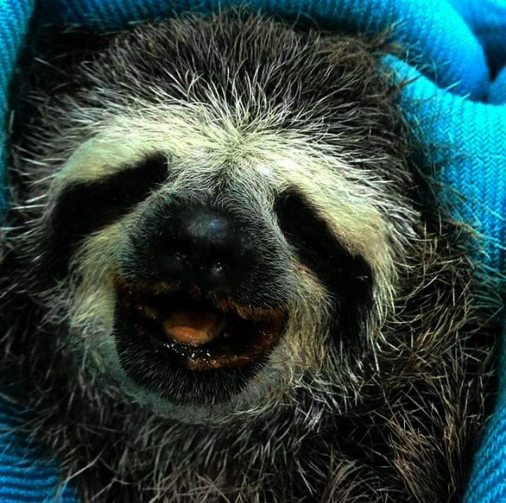 SAI's team rescued this sloth and nurtured it back