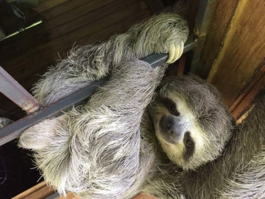 Three-toed sloth is the star of our animal refuge.