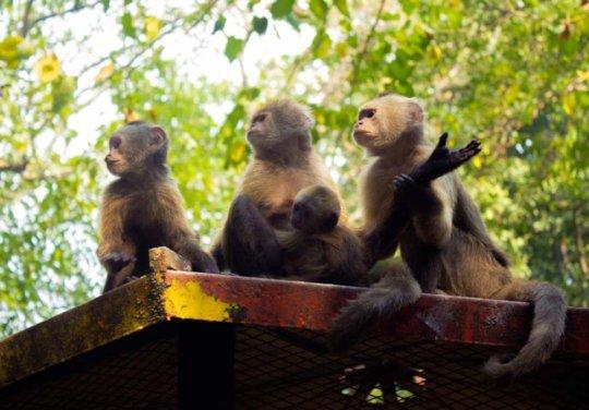 Three mature monkeys babysitting the newborn.