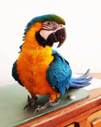 Blue-and-gold macaw parrot heals from broken wing.