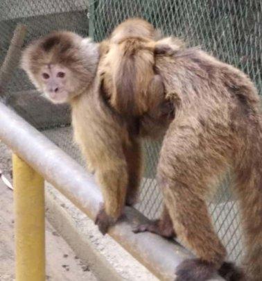 Baby Capuchin monkey clinging to mama's back.