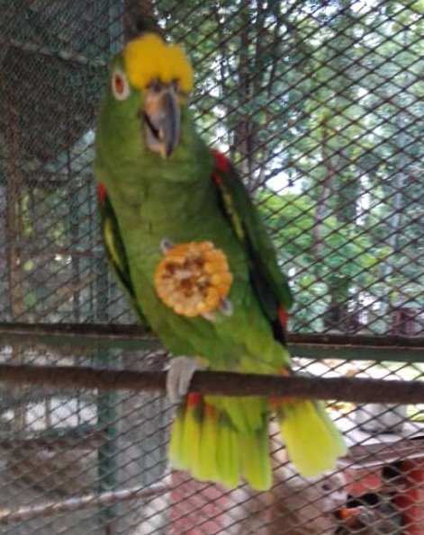 This beautiful parrot is the treasure of S.A.