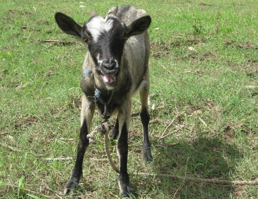Donate a Goat: Increase Haitian Family Income