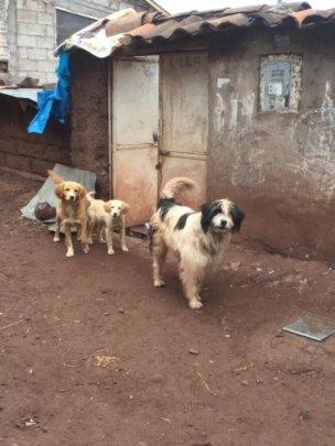 Street Dogs in Cusco