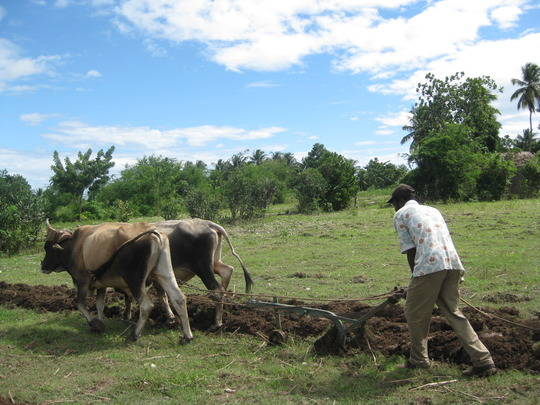 Ox-plow at work