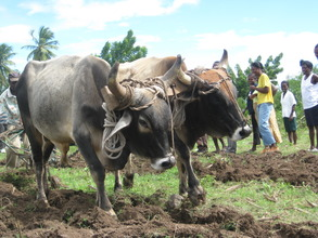 from hoe to Ox plow augmenting food production