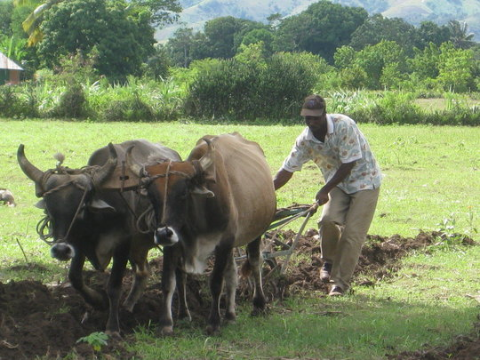 Ox-Plow Service at Work
