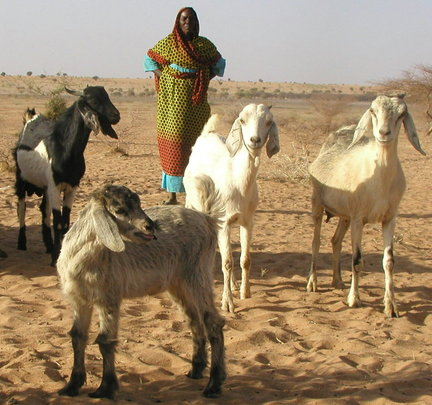 Woman grazing her goats
