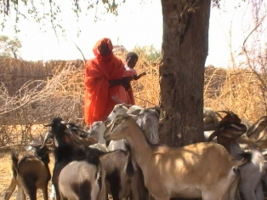 Goat loan beneficiary with her growing herd