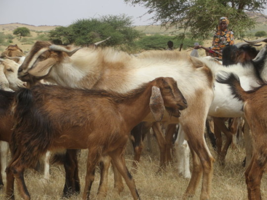 Kids for Kids' Goats!