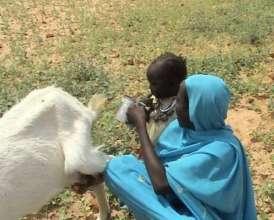 Goats milk saves lives in Darfur