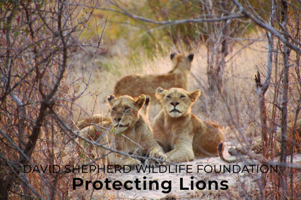 project photo for Protecting Lions