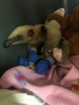 Baby Anteater's injuries