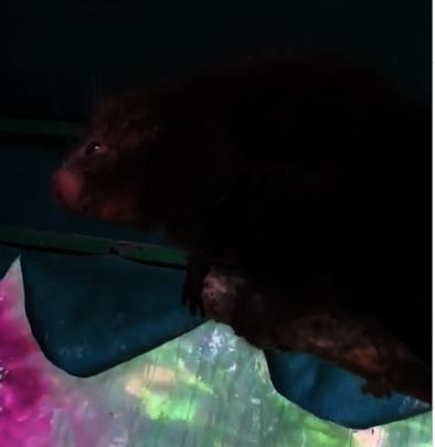 Bunny the porcupine