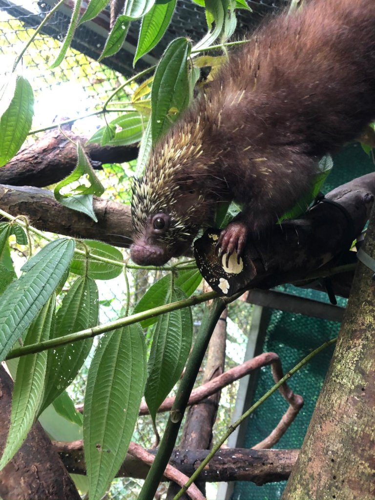 Orphaned porcupine to be released soon!