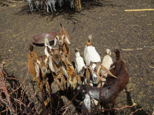 Goats provide essential milk for children