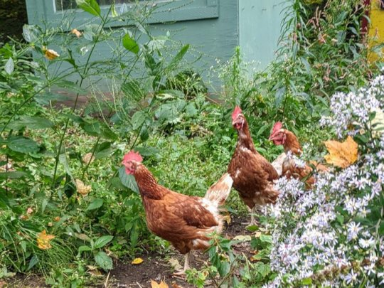 Hens from egg facility on their 1st day outside
