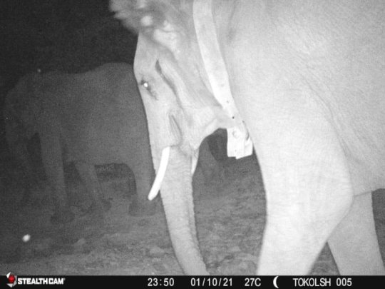 A collared elephant bull caught on camera trap