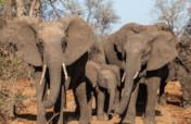 Elephant research in Chizarira, Zimbabwe