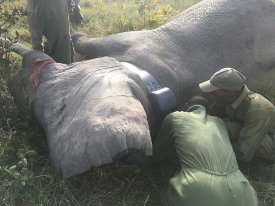ALERT and Parks staff collaring a bull elephant