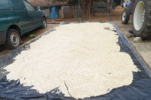 This year's harvest of maize sun drying
