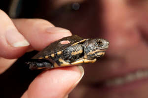 A newly-hatched turtle arrives at the zoo!