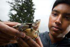 Western Pond Turtle with a teen volunteer
