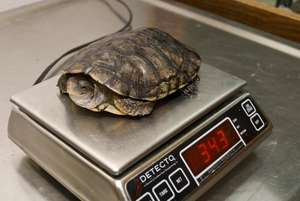 Weighing Turtles