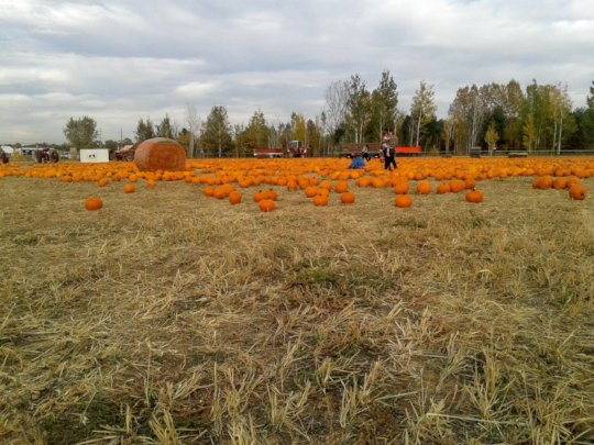 Pumpkin patch with pumpkins harvested by the MFW.