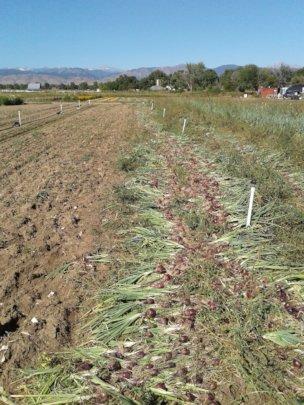 Harvested onions at Kilt Farm