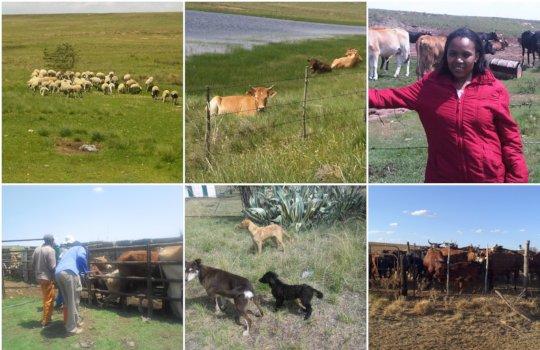 Felicity - cattle & sheep farm