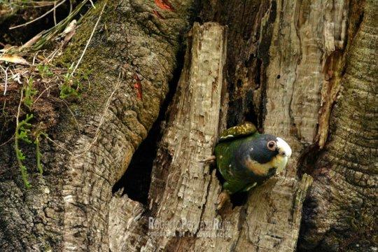 White-Fronted Parrot - Loro Corona Blanca