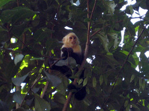 Capuchin Monkey at Finca Salvaje