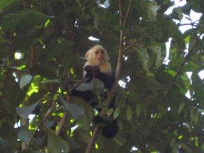Capuchin Monkey waiting for the corridor