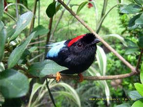 Long-tailed Manakin, La Tejona, Costa Rica