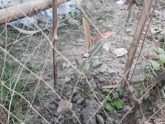 'Sundari' - Grow up fast the heart of Sunderbans!