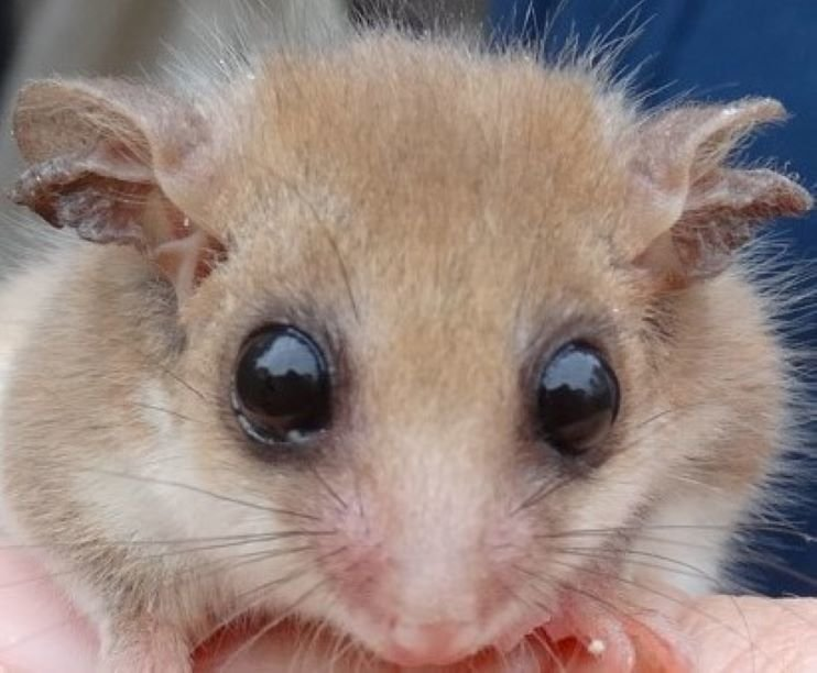 Understand & Protect the Western Pygmy Possum