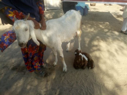 A poor women of Thar with Goat and its Baby Goat
