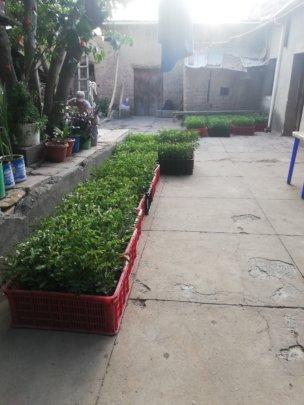 1000 plantines de Tara Spinosa