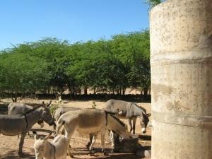 Donkeys in Gougaram