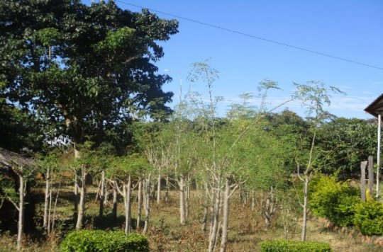 Coppiced moringa trees being pruned.