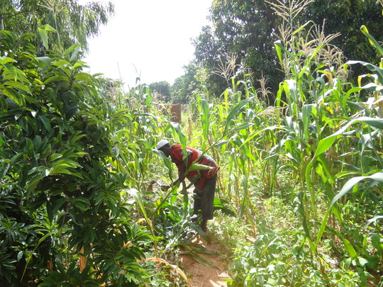 Worker at the corn farm